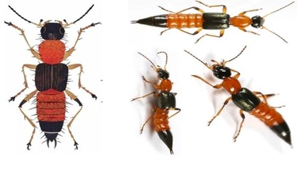 Cách diệt kiến ba khoang và cách đuổi kiến ba khoang