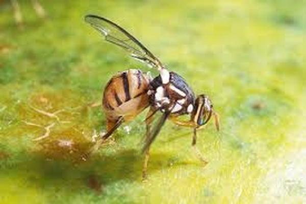 cách bẫy ruồi vàng đục quả