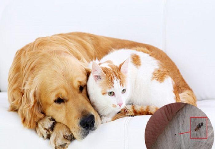 Cách diệt rận chó trong nhà bằng thuốc diệt rận chó hiệu quả