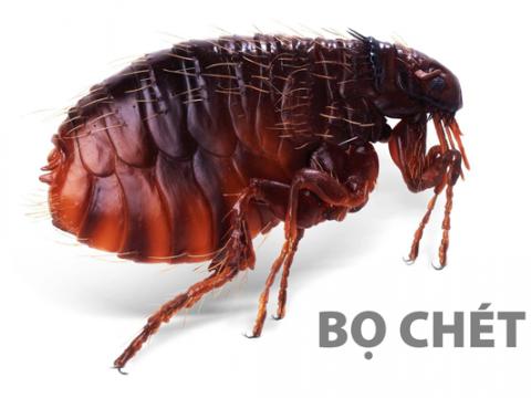 Cách diệt bọ chét trong nhà bằng phương pháp tự nhiên