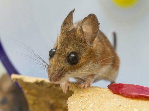cách đuổi chuột bằng phương pháp dân gian