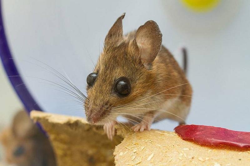 Cách đuổi chuột bằng phương pháp dân gian đơn giản tại nhà