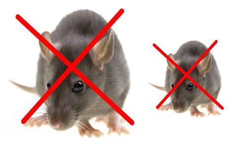 Cách diệt chuột tận gốc trong nhà bằng thuốc đuổi chuột sinh học