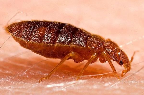 Các loại thuốc diệt rệp giường an toàn, sử dụng trong nhà, khách sạn